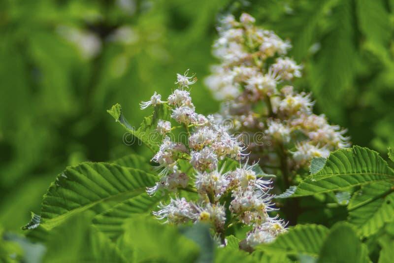 Castañas florecientes hermosas en primer del verano foto de archivo