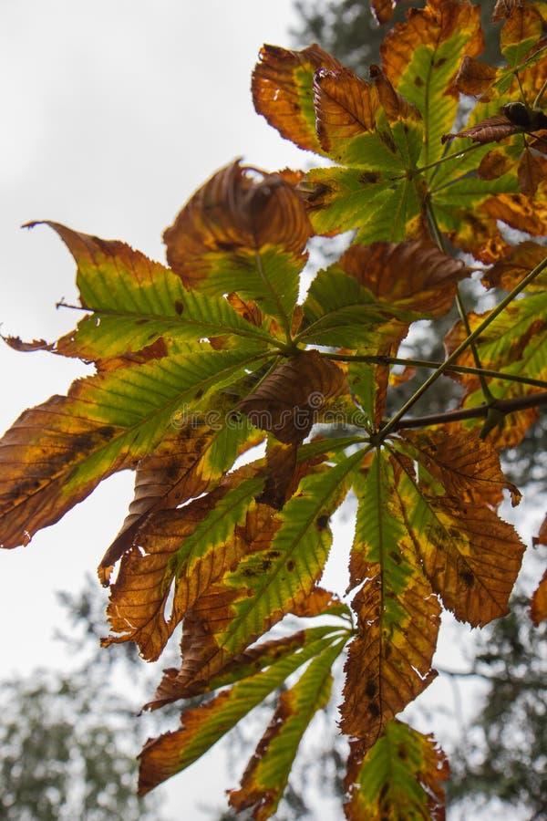 Castañas y hojas de la castaña contra la perspectiva del cielo del otoño imagenes de archivo