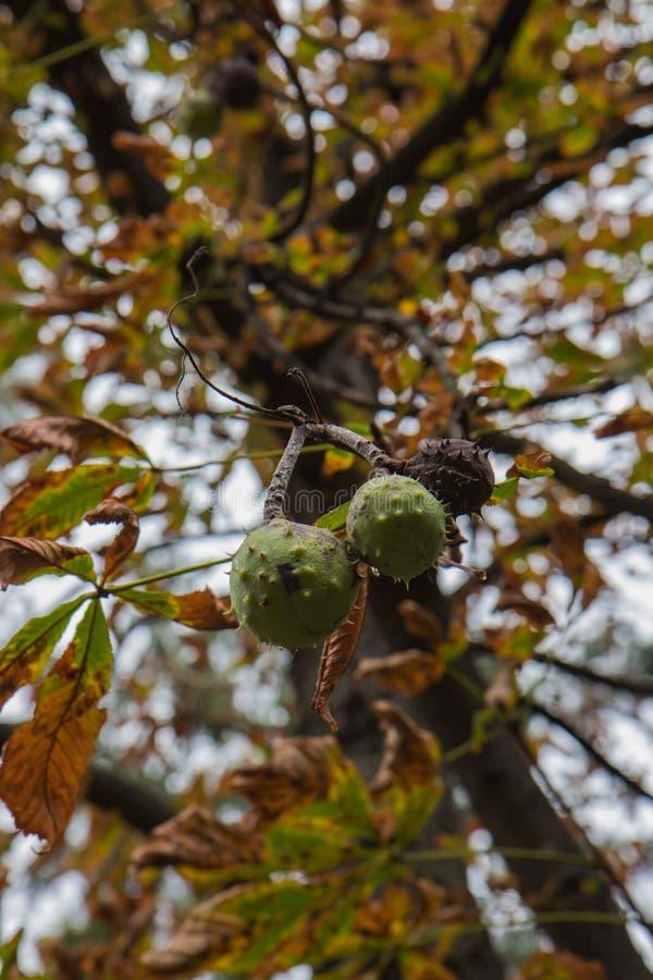 Castañas y hojas de la castaña contra la perspectiva del cielo del otoño fotografía de archivo