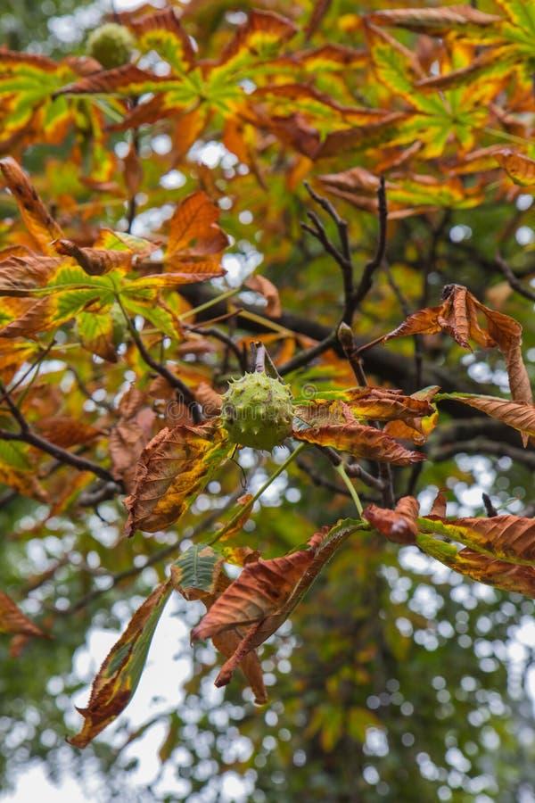 Castañas y hojas de la castaña contra la perspectiva del cielo del otoño foto de archivo libre de regalías