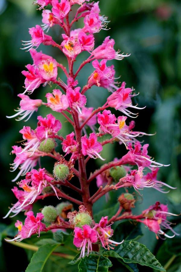 Casta?a de caballo roja, carnea del Aesculus x, ?rbol h?brido con las flores rojas fotos de archivo libres de regalías