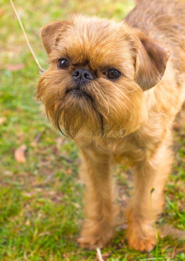 Casta roja de Bruselas Griffon del perro fotos de archivo