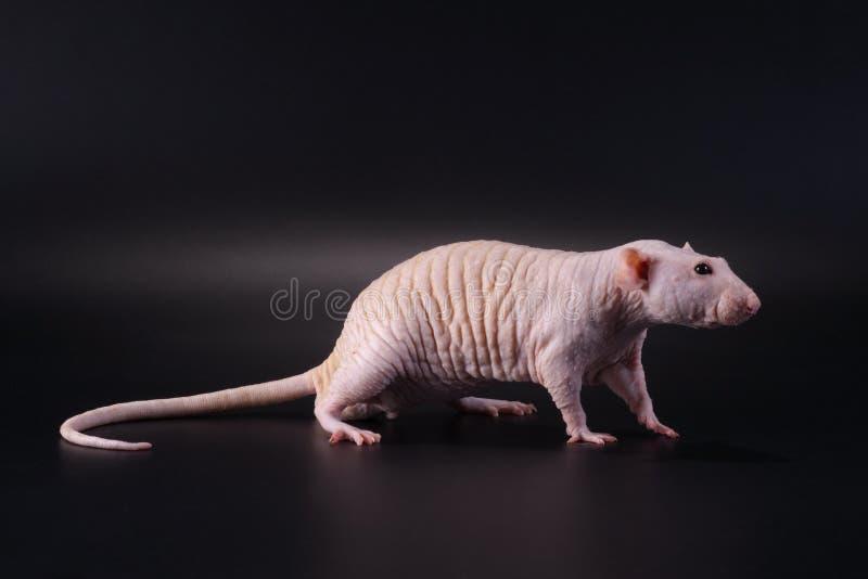 Casta sin pelo masculina derecha de Dumbo Sphynx de la rata. imágenes de archivo libres de regalías