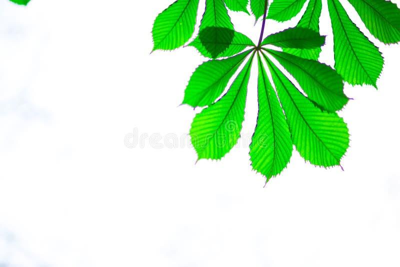 Casta?a verde de la hoja aislada en el fondo blanco fotografía de archivo