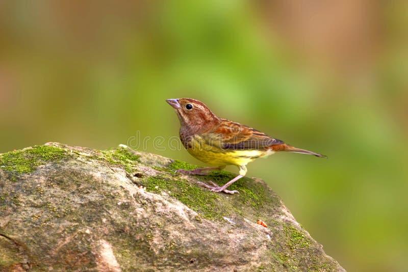 Castagna che Bunting un uccello variopinto immagini stock