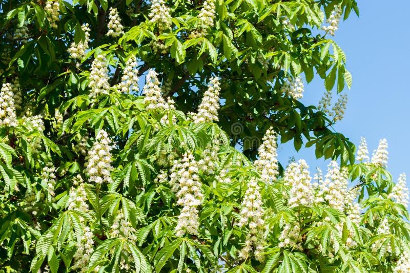 Castagna di fioritura contro il cielo blu il giorno soleggiato immagini stock