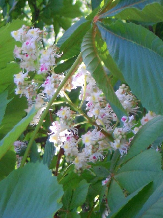 Castagna di fioritura dell'inflorescenza immagine stock