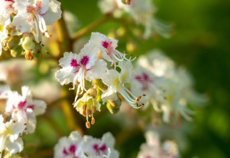 Castagna di fioritura, inflorescenza di fioritura del primo piano della castagna immagini stock libere da diritti