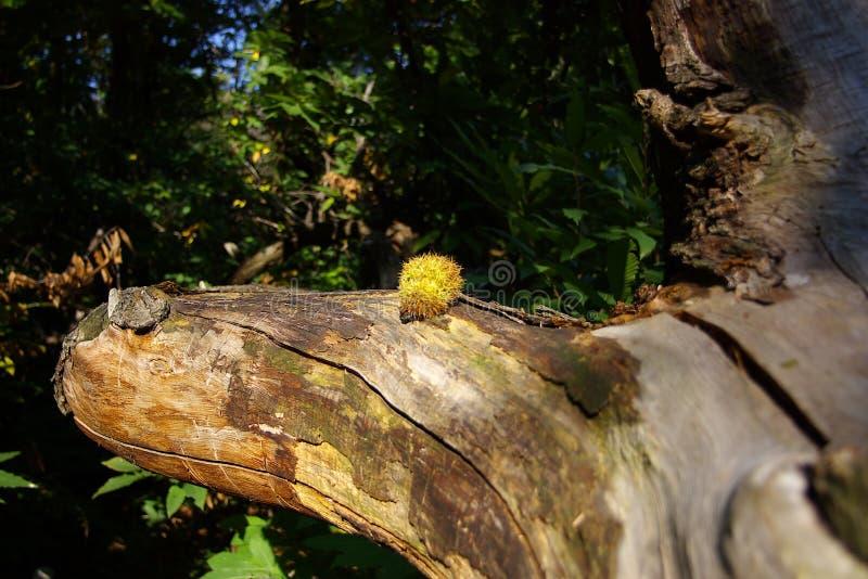 Castagna su un albero fotografia stock