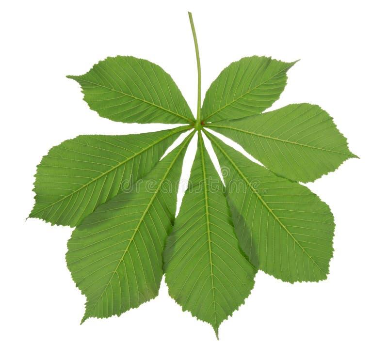 Castagna verde della foglia immagini stock