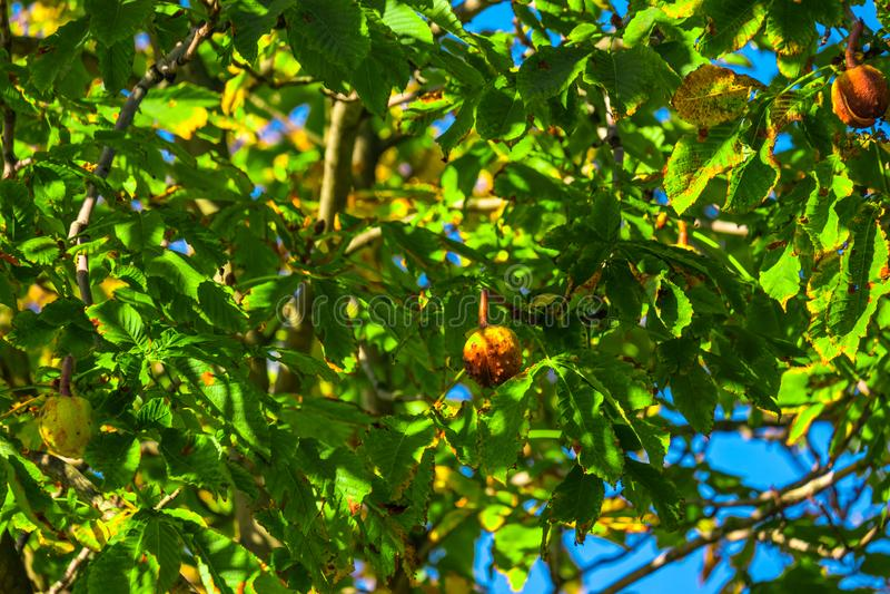Castagne di autunno sull'albero immagini stock libere da diritti