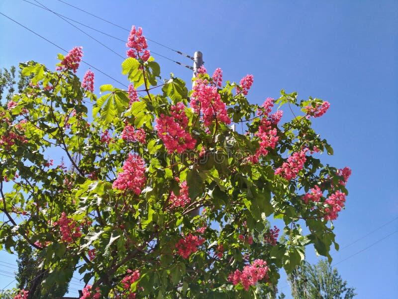 Castagne rosa sboccianti contro il cielo blu nella città fotografia stock libera da diritti