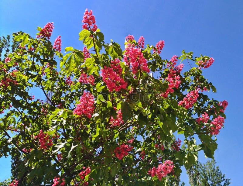 Castagne rosa sboccianti contro il cielo blu nella città immagine stock libera da diritti