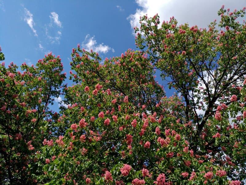 Castagne rosa sboccianti contro il cielo blu-nuvoloso immagine stock libera da diritti