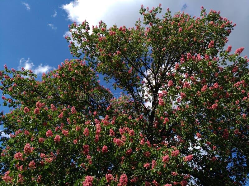 Castagne rosa sboccianti contro il cielo blu-nuvoloso fotografia stock