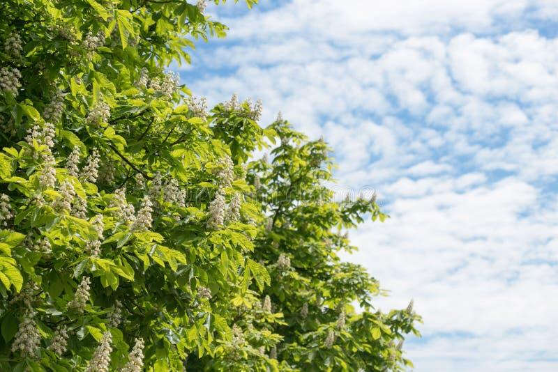 Castagne sboccianti contro un cielo blu con le nuvole fotografia stock libera da diritti