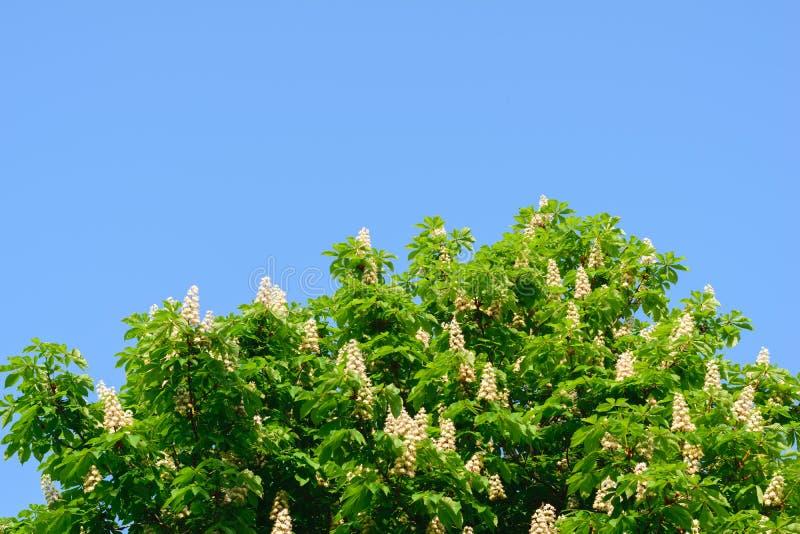 Castagno che fiorisce in pieno con i fiori freschi contro il chiaro fondo del cielo blu immagine stock