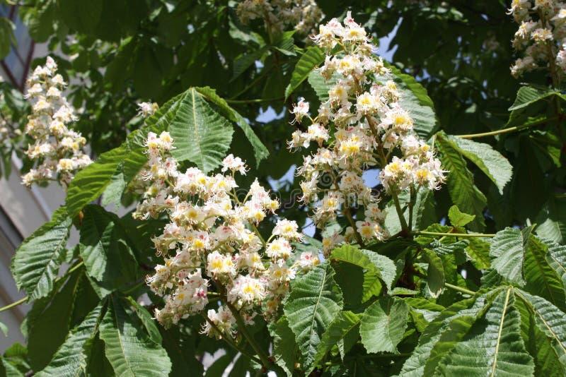 Castagno di fioritura nel parco immagine stock libera da diritti
