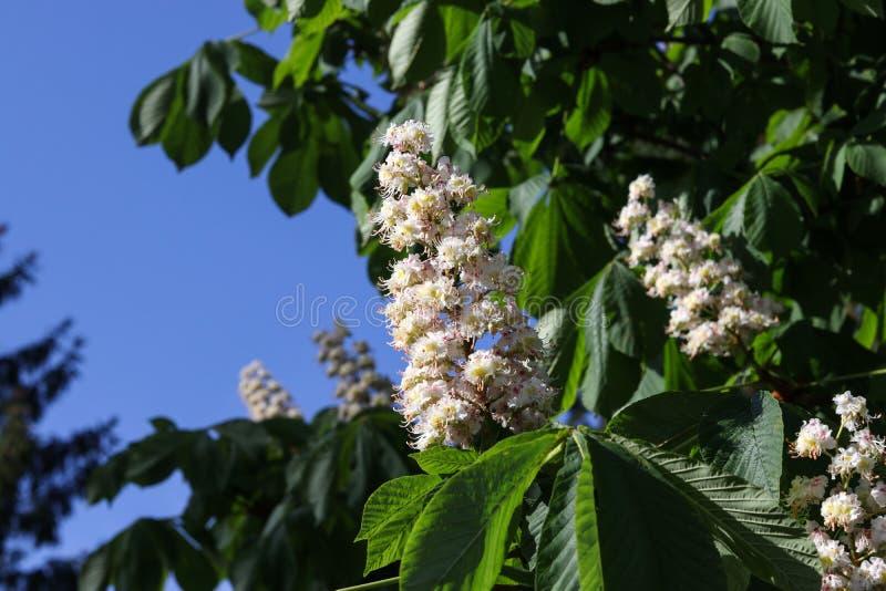 Castagno sbocciante nel fiore bianco e le foglie verdi del primo piano di primavera su sole fotografia stock