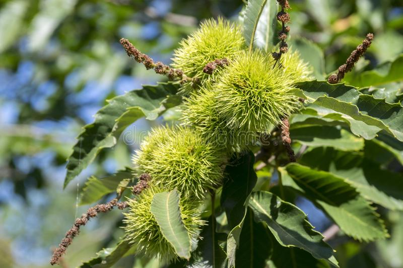 Castanea sativa, sweet chestnuts hidden in spiny cupules, tasty brownish nuts marron fruits, branches with leaves royalty free stock photos