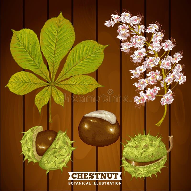 Castanha Autumn Botanical Vetora Illustration ilustração royalty free