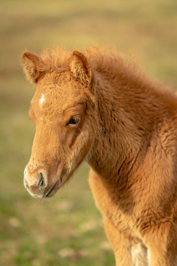 Castanha bonito potro islandês colorido do cavalo fotos de stock royalty free