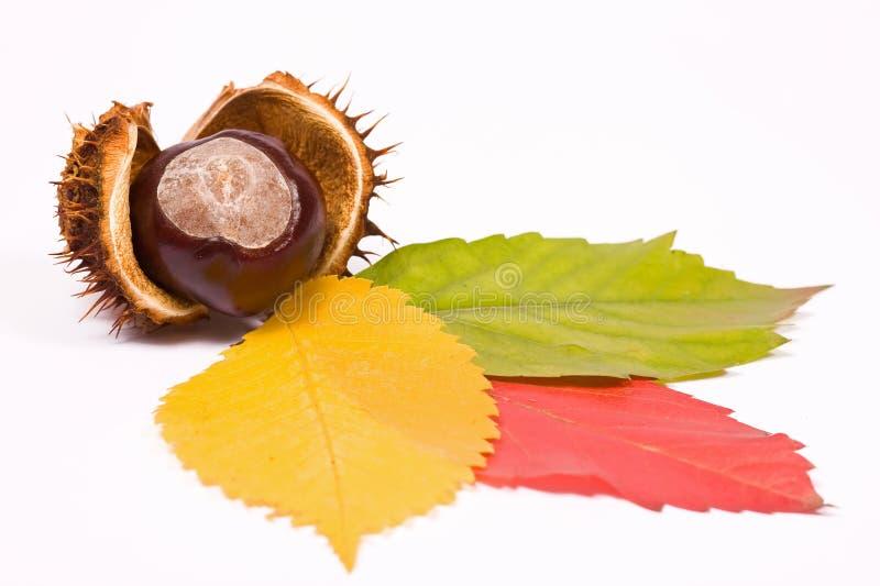 Castanha com as três folhas coloridas imagens de stock