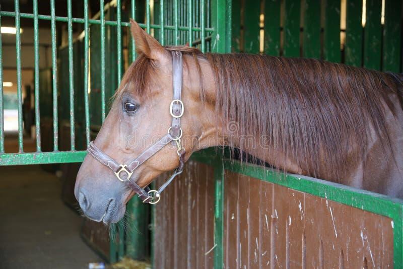 A castanha curiosa coloriu o cavalo que olha para fora a janela estável na exploração agrícola imagens de stock