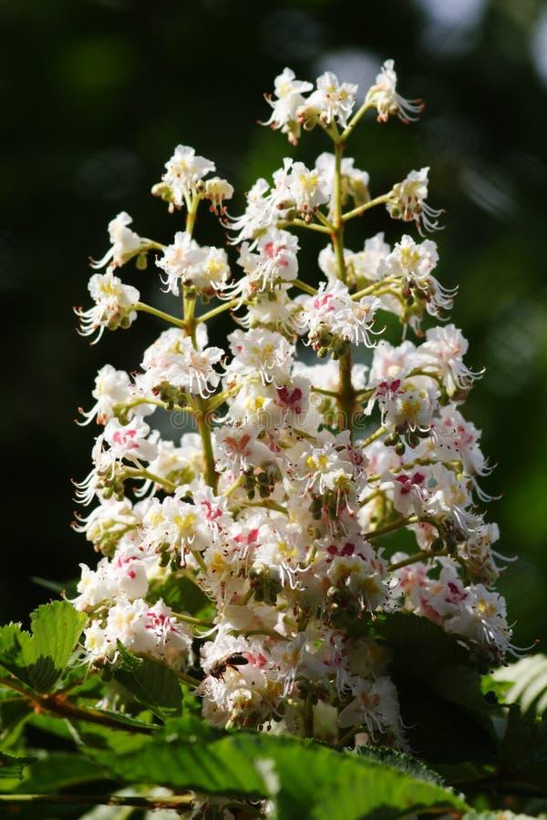 Castanha de cavalo na flor. fotografia de stock royalty free