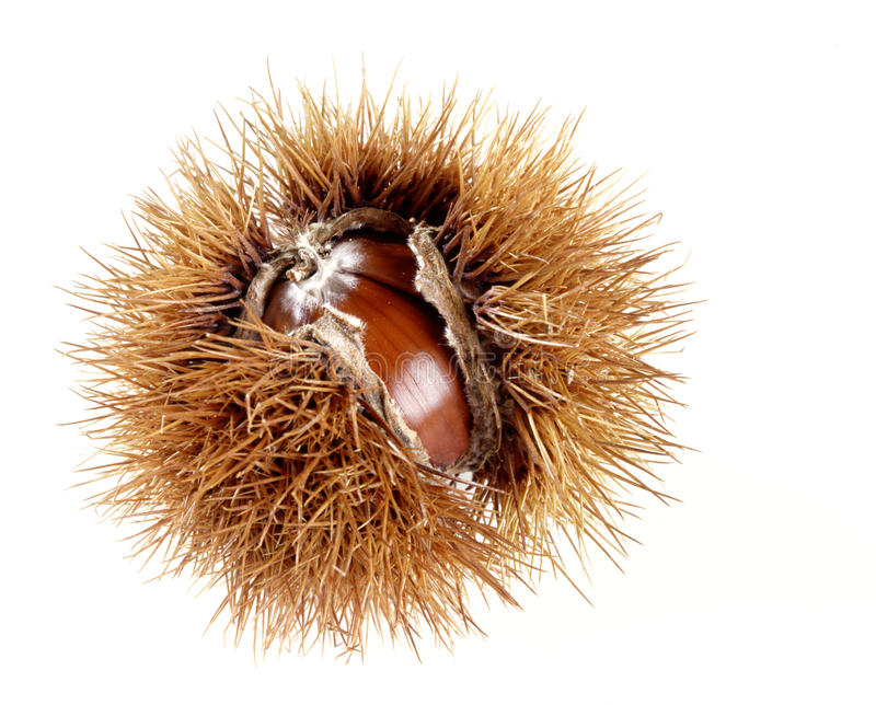 Castanha doce em seu husk spiky fotos de stock