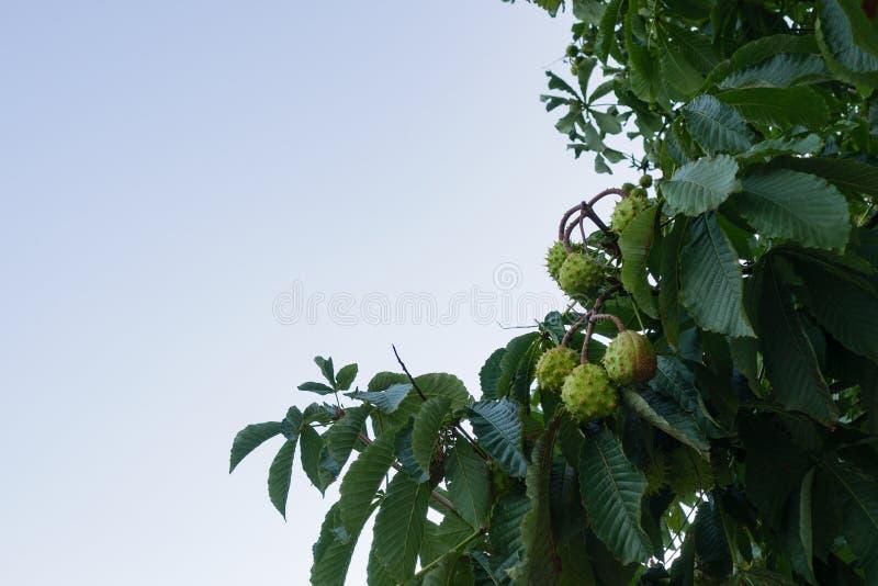 Castanhas-da-índia/conkers que penduram da árvore com espaço da cópia na esquerda fotografia de stock royalty free