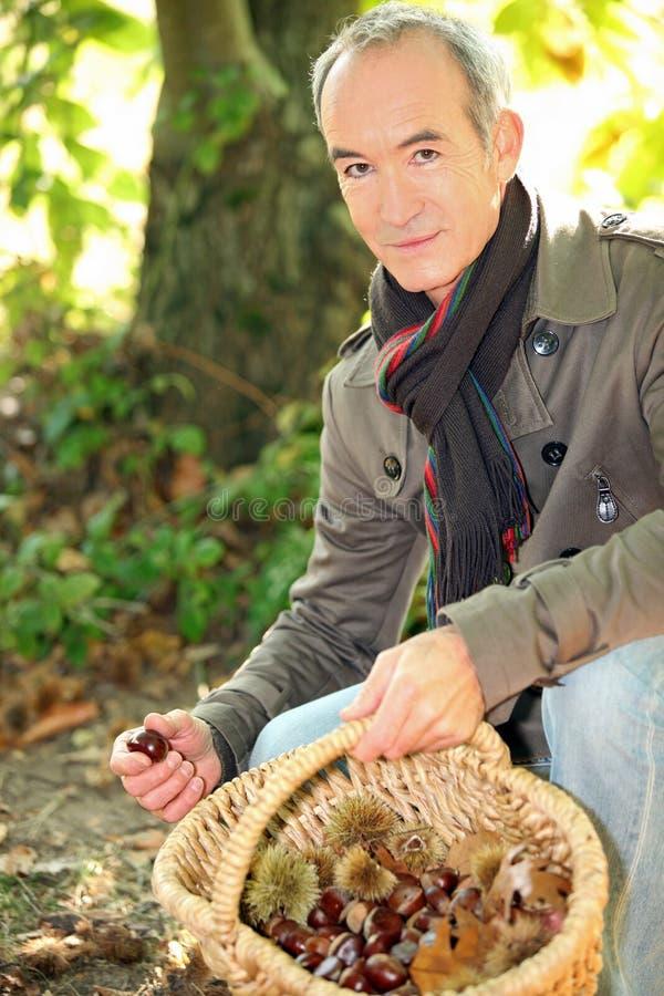 Castanhas da colheita do homem imagens de stock