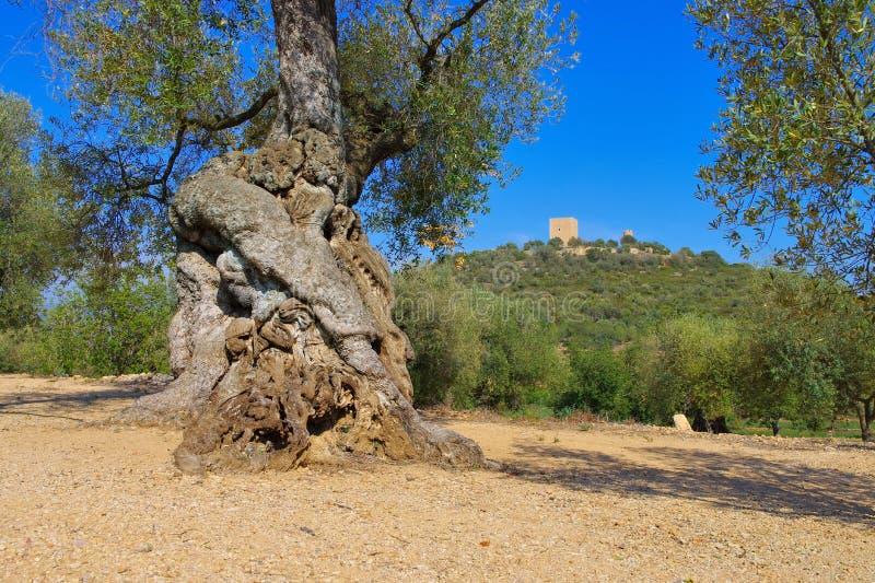 Castell d 'Ulldecona und ein alter Olivenbaum lizenzfreie stockbilder