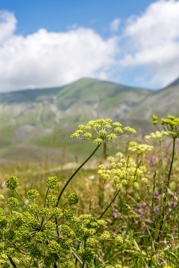 Castelluccio linser som blommar sommar Italien royaltyfria bilder