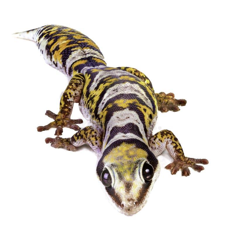 Castelnaus Samt-Gecko stockfotos