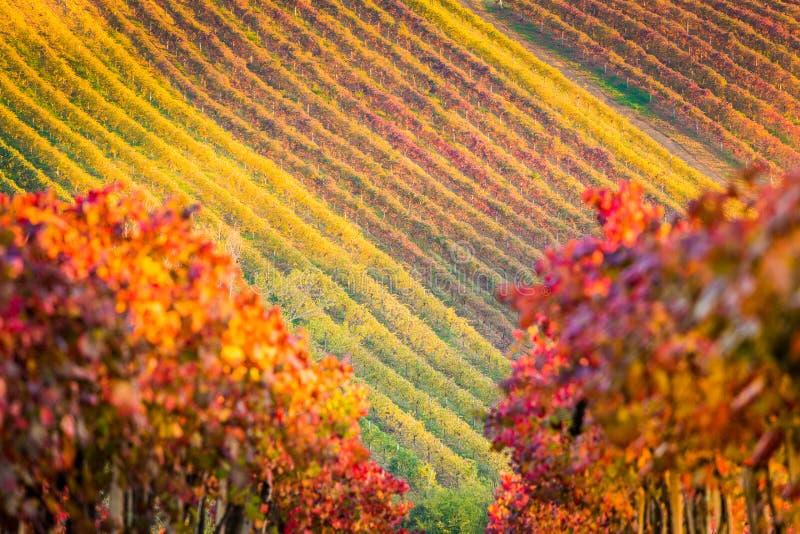 Castelvetro-Di Modena, Weinberge im Herbst stockbild
