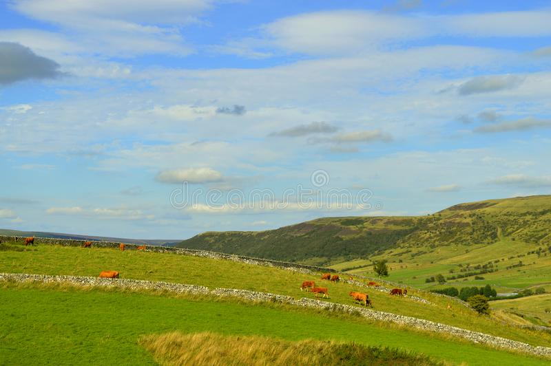 Castleton countryside in the Peak District National Park. Cows in a Castleton field in the Peak District National Park stock images