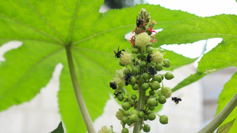 castor bean or castor oil plant & x28;Ricinus communis& x29;, Inflorescence with male and female flowers royalty free stock photos