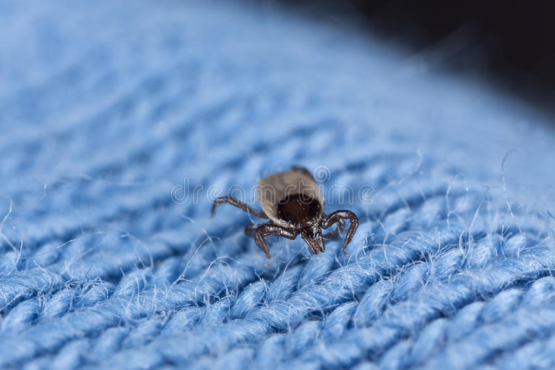 Castor bean tick, Ixodes ricinus crawling on textile. Macro photo of a castor bean tick, Ixodes ricinus crawling on textile. This animal can be a carrier of royalty free stock image