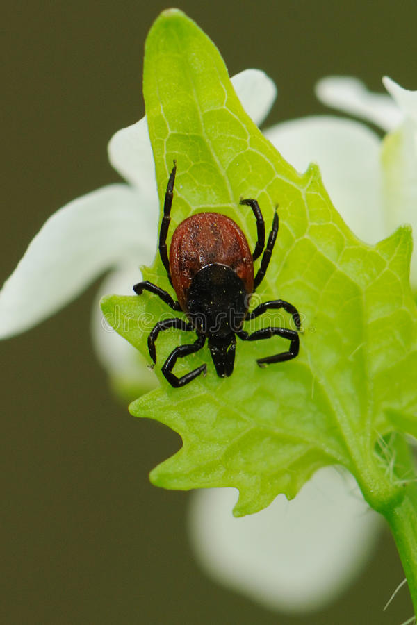 Download Castor Bean Tick, Ixodes Ricinus, Waiting For A Host Stock Image - Image: 32706473