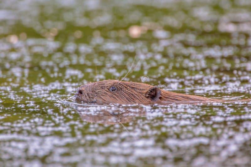 Castor da natação que olha na câmera fotos de stock