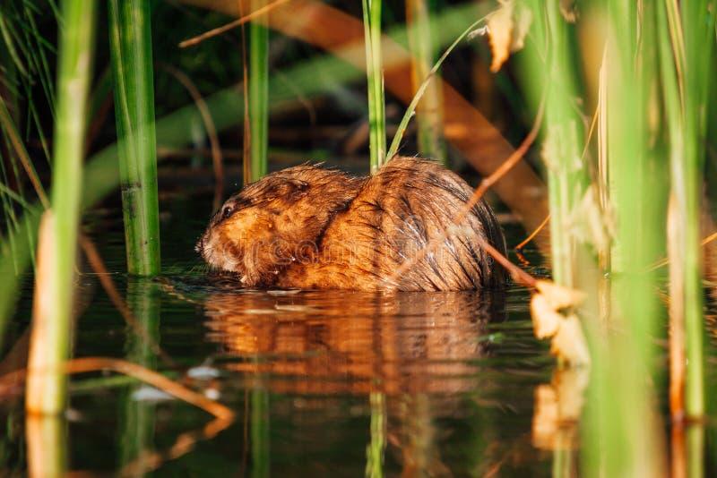 Castor de Brown no junco da água foto de stock royalty free