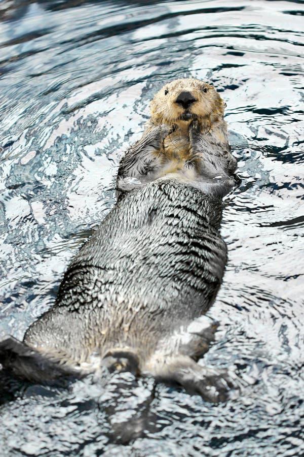 Castor de la natación fotos de archivo