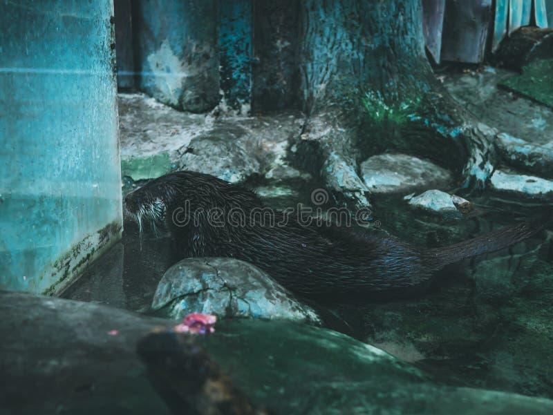 Castor de loutre dans l'eau de natation photo stock