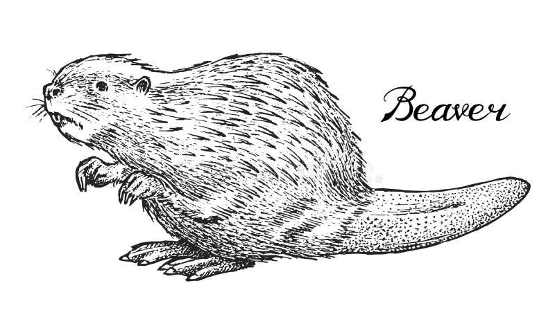 Castor del río, animal salvaje Símbolo del norte y del estilo del monocromo del vintage del bosque Mamífero en Europa mano grabad libre illustration