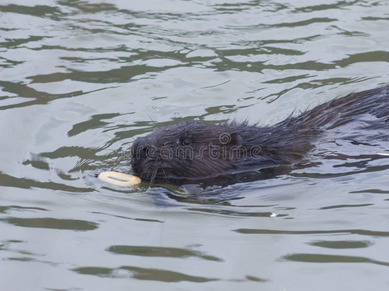 Castor européen, fibre de roulette, nageant en rivière d'hiver au pain-anneau, portrait en gros plan, foyer sélectif images libres de droits