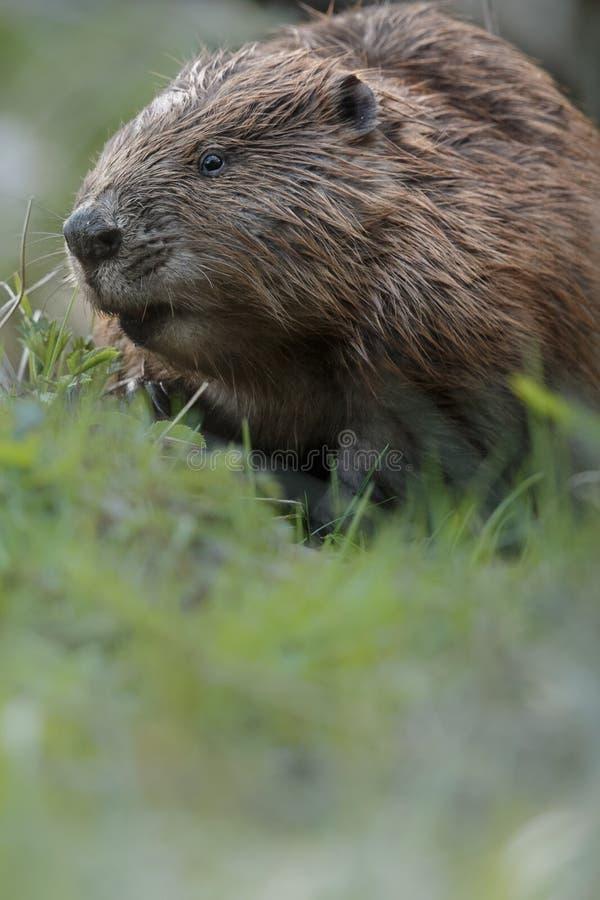 Castor européen sauvage dans le bel habitat de nature dans la République Tchèque photo libre de droits