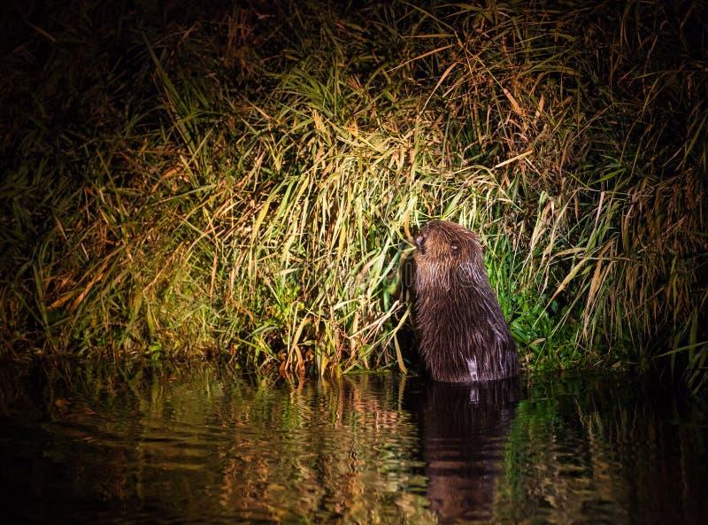 Castor europeo en la noche del río de Narew imagenes de archivo