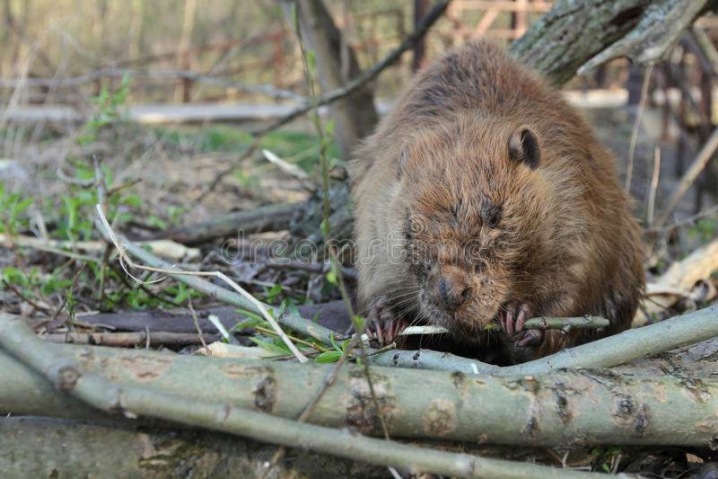 Castor mangeant l'écorce d'arbre photographie stock libre de droits