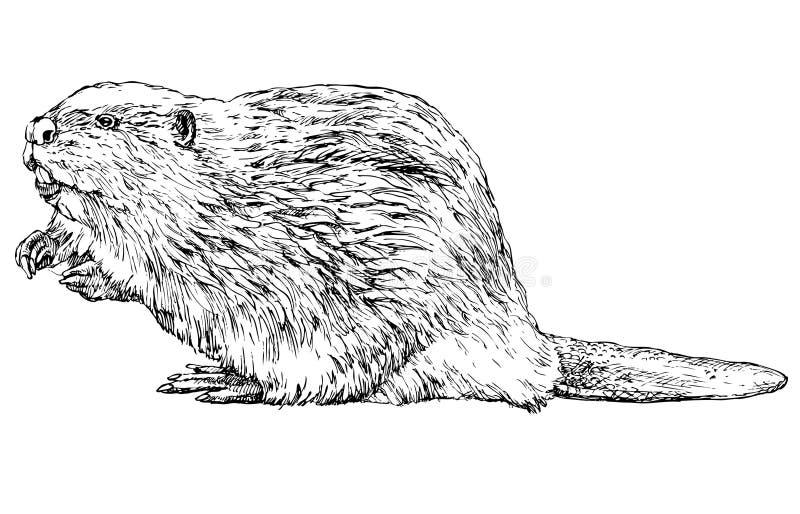 Castor no branco ilustração royalty free